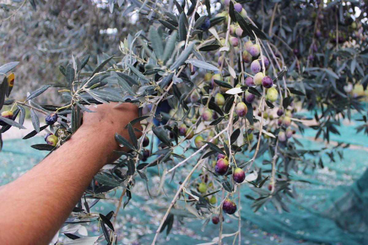 marturano_olive_fasi_frantoio_8.jpg